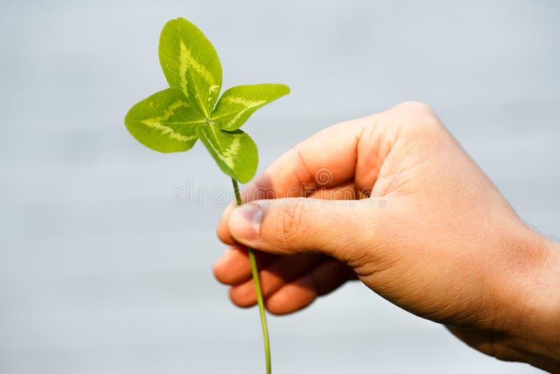Czterolistna koniczyna w ręce Roślina z 4 liśćmi Symbol l fotografia stock