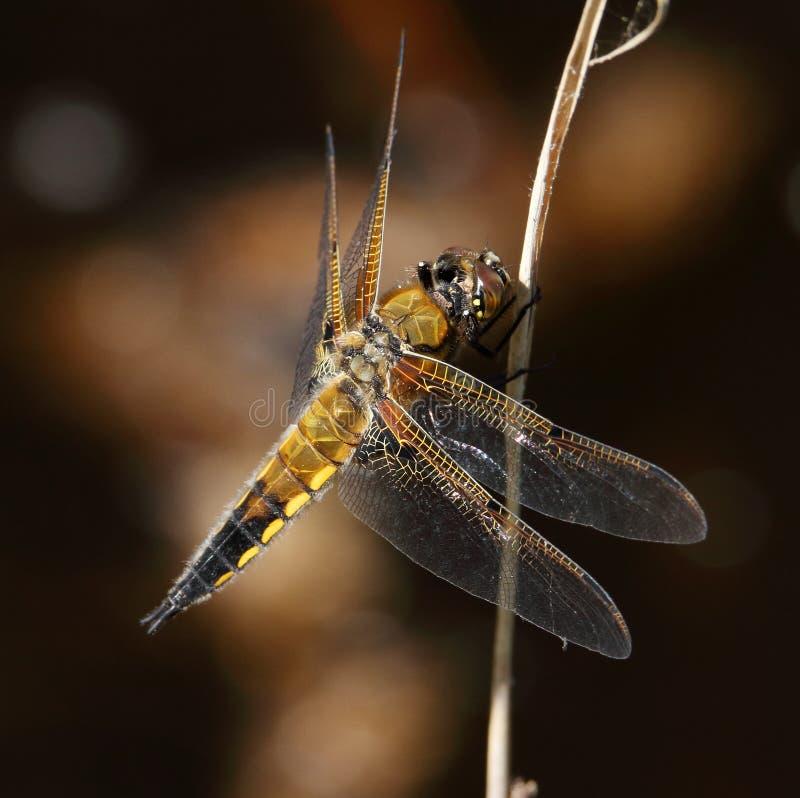 Cztery ?owcy ?aciasty Dragonfly Odpoczywa Na p?osze fotografia stock