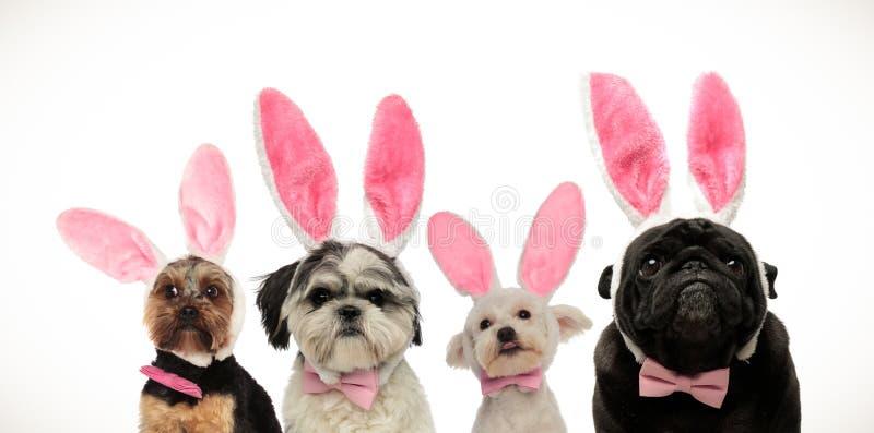 Cztery ślicznego małego psa jest ubranym królików ucho dla Easter zdjęcia royalty free