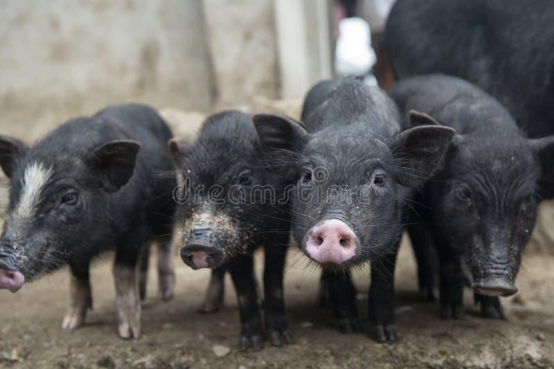 cztery świni zdjęcia royalty free