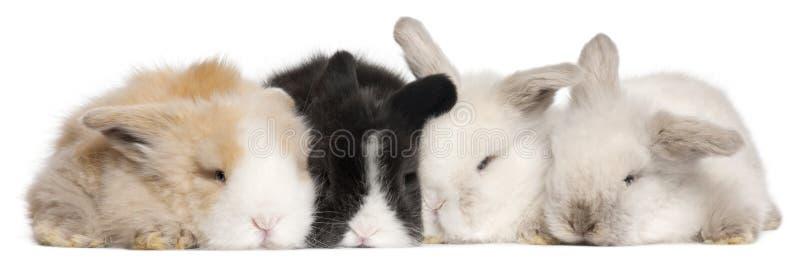 Cztery Angielskiego Angorskiego królika przed białym tłem fotografia stock
