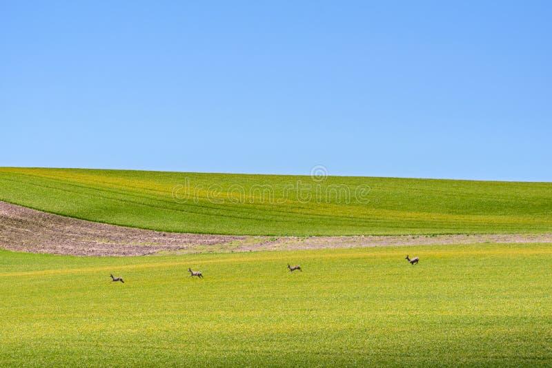 Cztery deers na zieleni śródpolnym i chmurnym niebieskim niebie zdjęcie royalty free