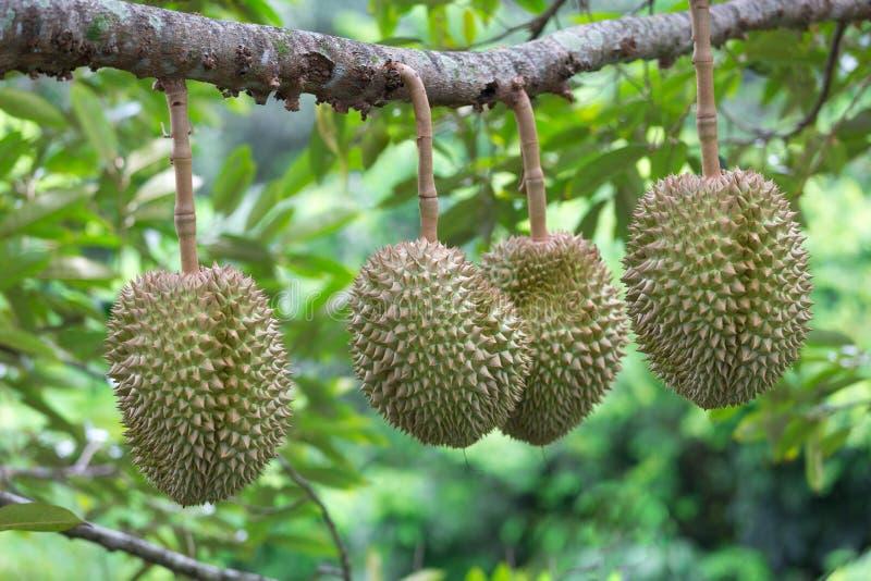 Cztery durians na drzewie obrazy stock