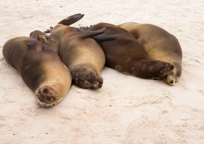 Cztery Galapagos foki na plaży z rzędu fotografia stock