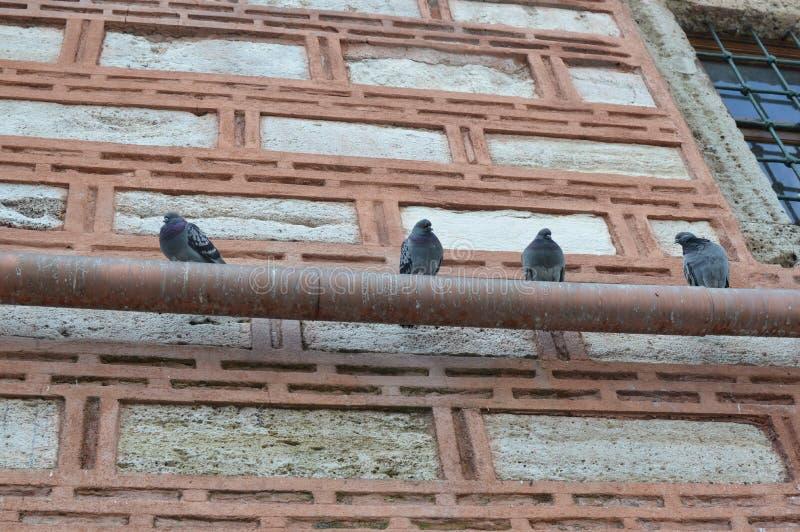 Cztery gołąbki stoi na tubce obraz stock