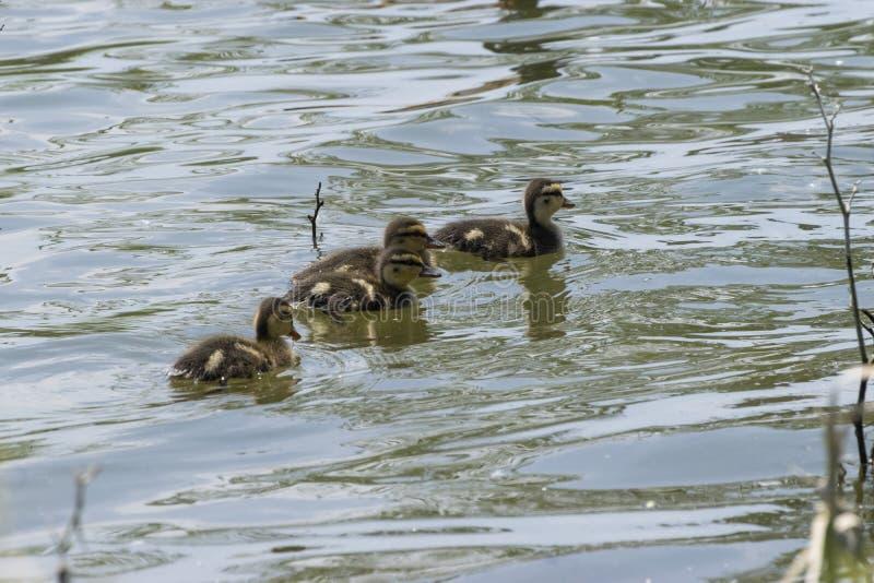 Cztery kaczki Mallard pływające nad jeziorem zdjęcie stock