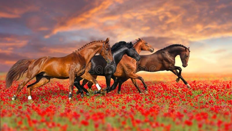 Cztery koń w makowych kwiatach zdjęcie stock
