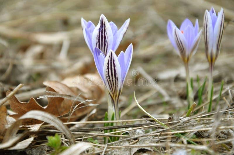 Cztery krokusa pasiasty purpurowy dorośnięcie obrazy stock