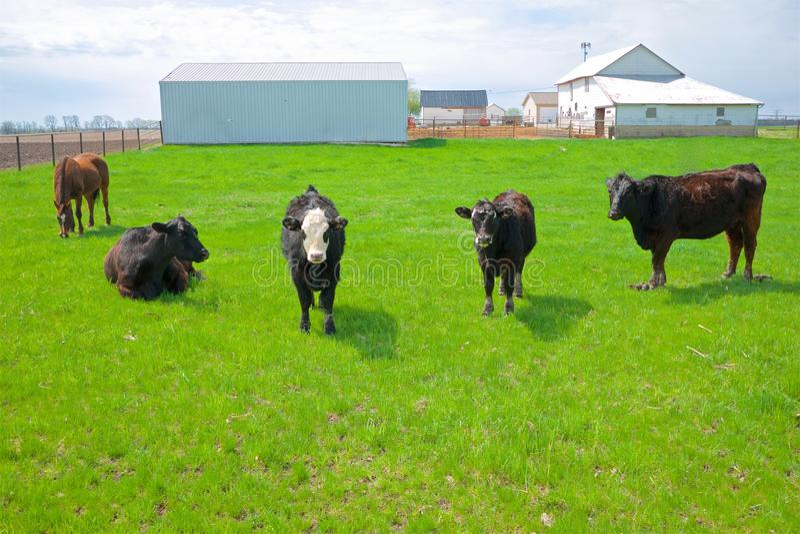 Cztery krowy i koń na Środkowy Zachód gospodarstwie rolnym fotografia royalty free