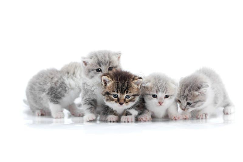 Cztery małego śliczny siwieje figlarki i jeden ciemnego brązu figlarka pozuje w białym fotografii studiu jest niespokojna i curio zdjęcia royalty free