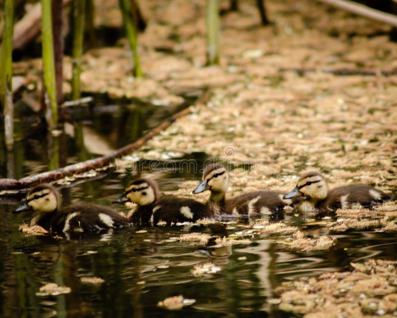 Cztery malard kaczątka wciąż w puszku, pływają z rzędu wśród cottonwood ziaren zdjęcia stock