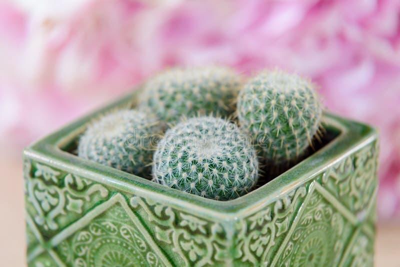 Cztery mini kaktusa w garnku zdjęcia stock