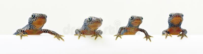 Cztery newts siedzi patrzeć odizolowywający na bielu fotografia stock