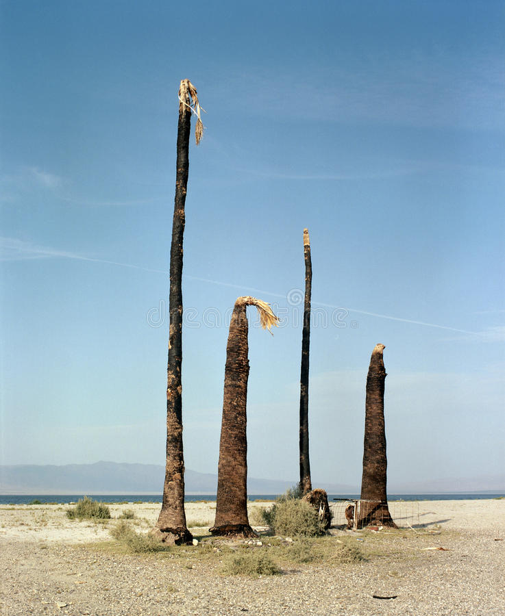 Cztery Nieżywej palmy obraz royalty free