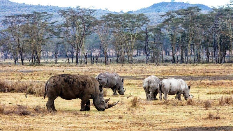 Cztery nosorożec w Jeziornym Nakuru Kenja Afryka zdjęcia royalty free
