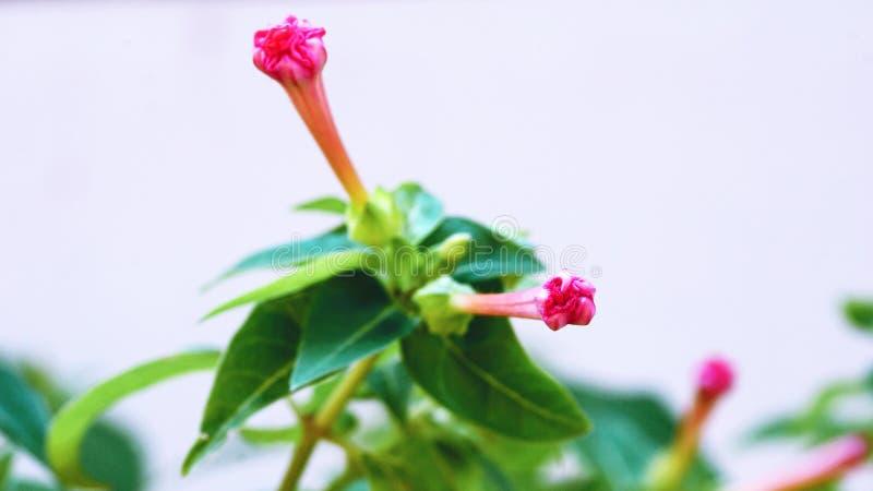 Cztery o ` zegaru kwiat Cud, mirabilis obraz stock