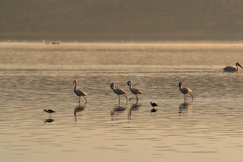 Cztery różowej flaming rewizji dla mollusks i ryby w wodach jezioro Jeziorny Nakuru, Kenja obraz royalty free