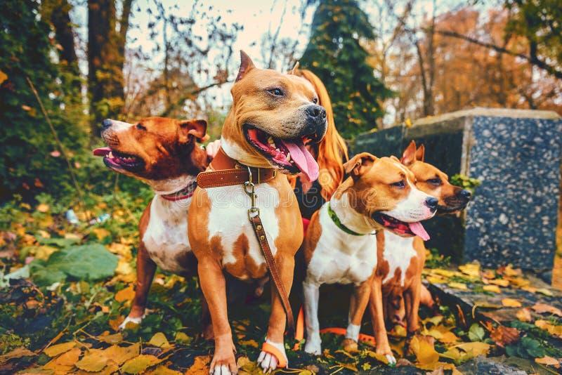 Cztery Staffordshire teriera Rodzina składająca się z czterech osób psy siedzi w naturze w jesieni obraz stock