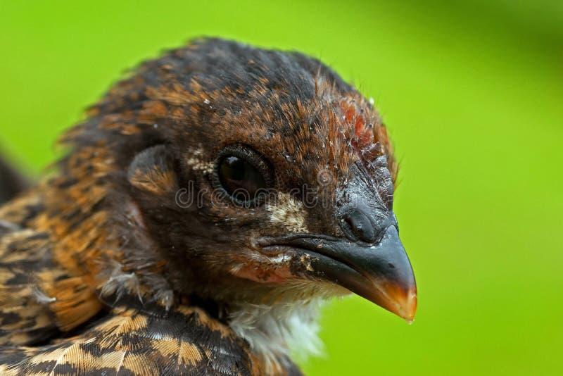Cztery tygodni kurczaka stara samiec od Hedemora trakenu w Szwecja, zdjęcia stock