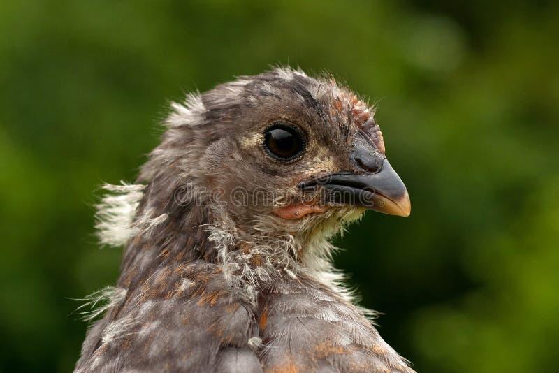 Cztery tygodni kurczaka stara samiec od Hedemora trakenu w Szwecja, obrazy stock
