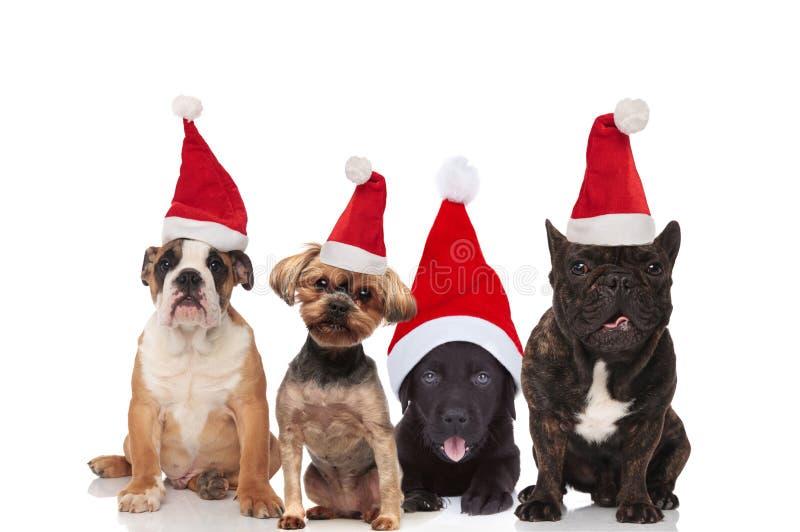 Cztery uroczego Santa psa różni trakeny siedzi i kłama zdjęcie stock