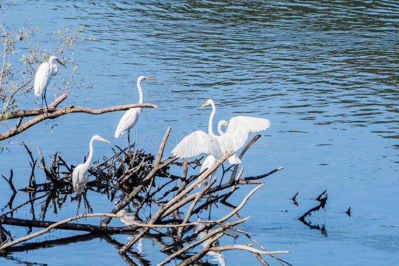Cztery wielkiego białego egrets dzieli stos dryftowy drewno zdjęcia stock