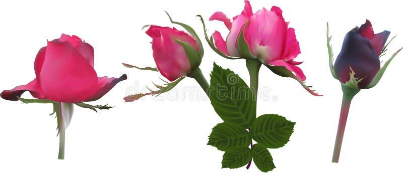 Cztery zmrok różowy wzrastał kwiaty odizolowywających na bielu ilustracja wektor