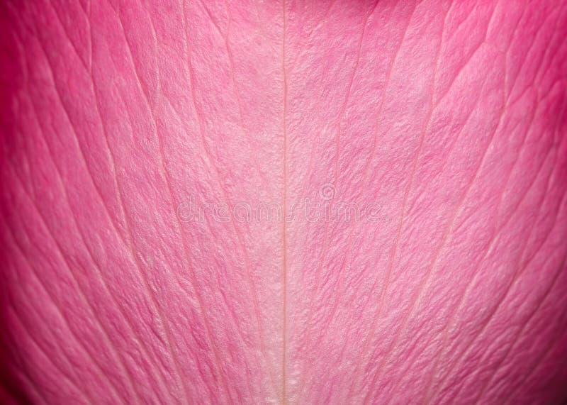 Czuła piękna różana płatek tekstura Menchii róży płatka zakończenie up Makro- fotografia naturalna różana płatek tekstura obrazy royalty free