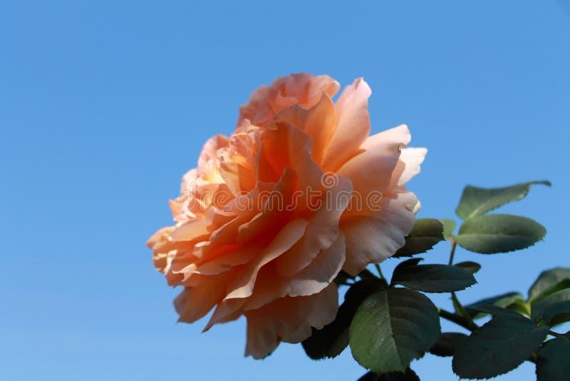 Czułość róża w słońcu obrazy stock