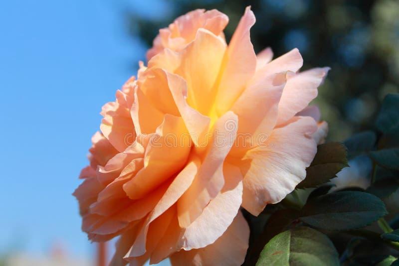 Czułość róża w słońcu zdjęcia royalty free