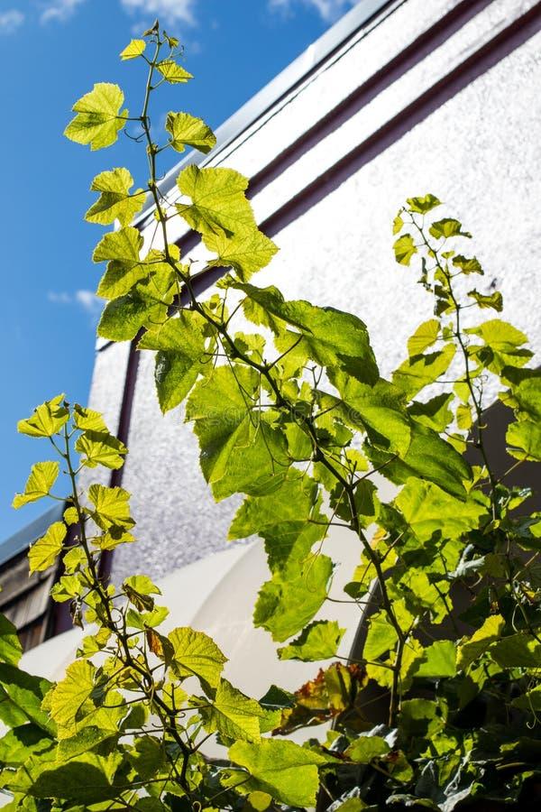 Czuły i młody winogrono rozgałęzia się próbować dosięgać słońce narastającą wysokość obraz royalty free