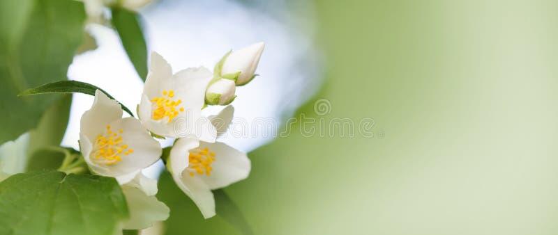 Czuły jaśmin kwitnie na miękka część zamazującym tle Kwitnąć białych płatki roślina, lato ogrodowa scena Makro- widok obraz stock