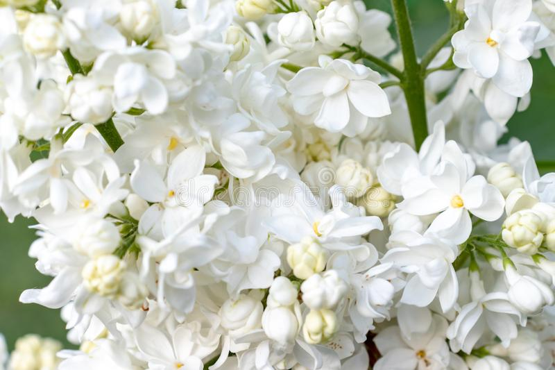 Czu?y delikatny bia?y bez, Syringa vulgaris dwoi?ci kwiaty zamyka w g?r? t?a jako obrazy royalty free