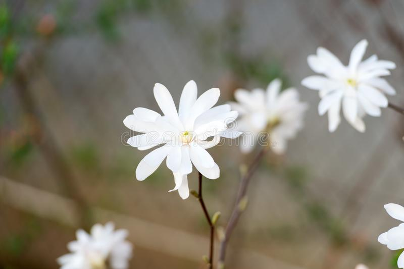 Czu?y kwiat Biały kwiat na cienkiej gałąź zamkniętej w górę poj?cia odosobniony natury biel Botanika i biologia Kwiecisty sklep k zdjęcia royalty free