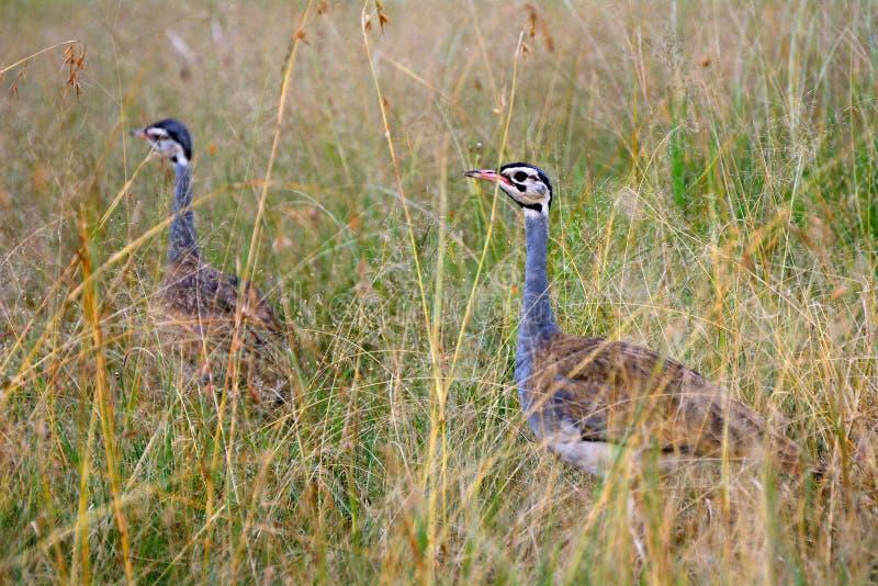 Czubaci dropie, Maasai Mara gry rezerwa, Kenja obrazy royalty free