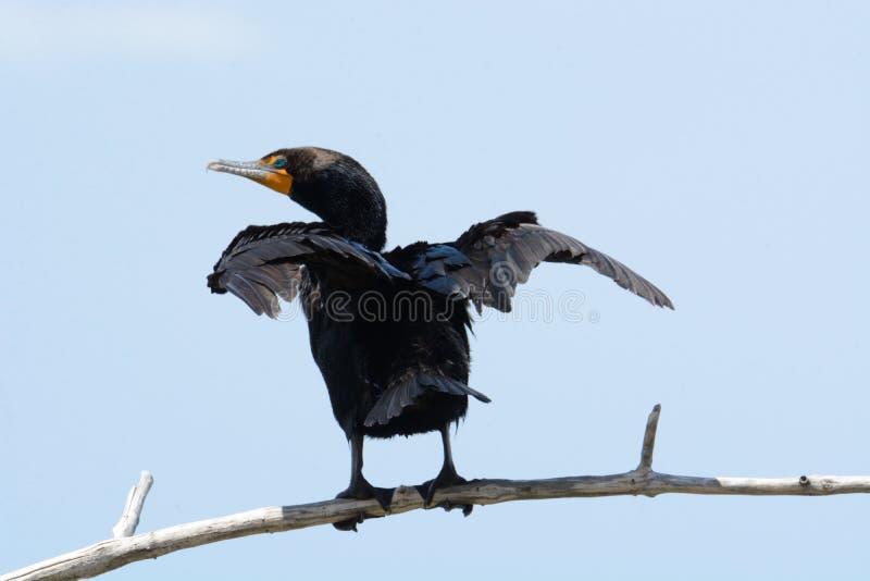 Czubaci kormoranu podesłania skrzydła obrazy royalty free