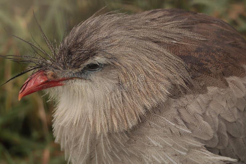 Czubatego Cariama ptak, zakończenie w górę kierowniczego portreta obrazy royalty free