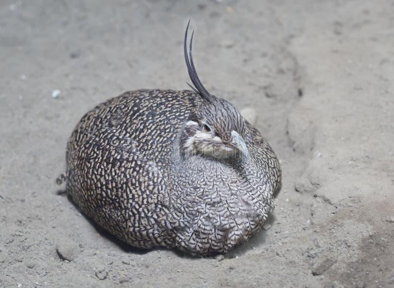 czubaty elegancki tinamou obraz stock