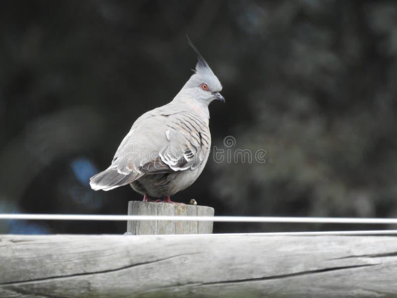 Czubaty gołębi odpoczywać na drewnianej poczcie obrazy royalty free