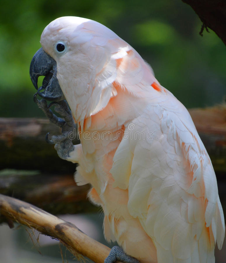Czubaty kakadu fotografia stock