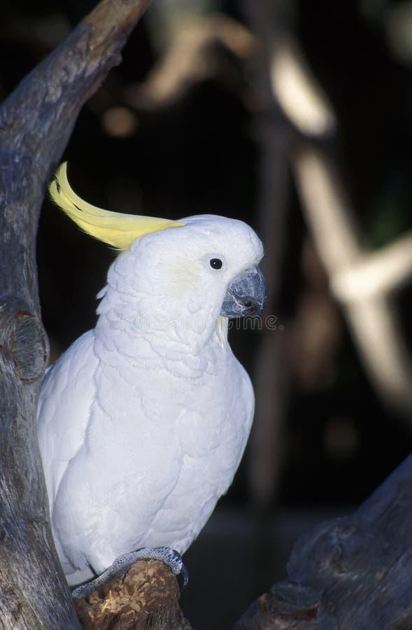 Czubaty kakadu, Cacatua galerita obrazy royalty free