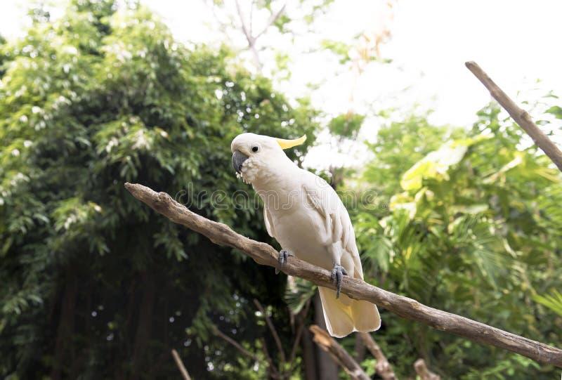 Czubaty kakadu Cacatua galerita obsiadanie na drzewnym otręby zdjęcie stock