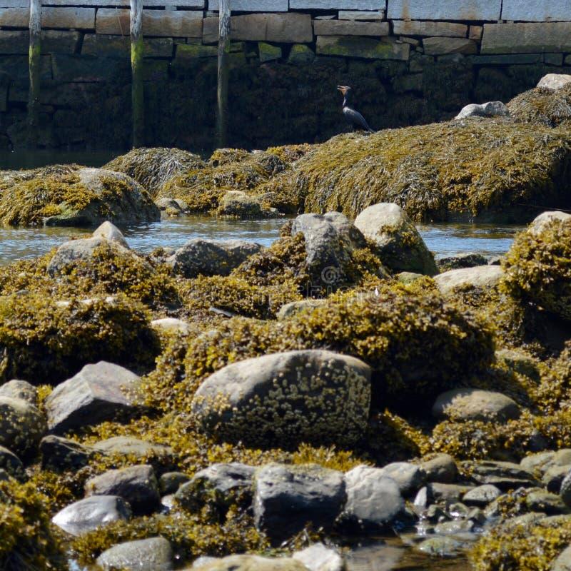czubaty kormoran Umieszczający na skałach obraz stock