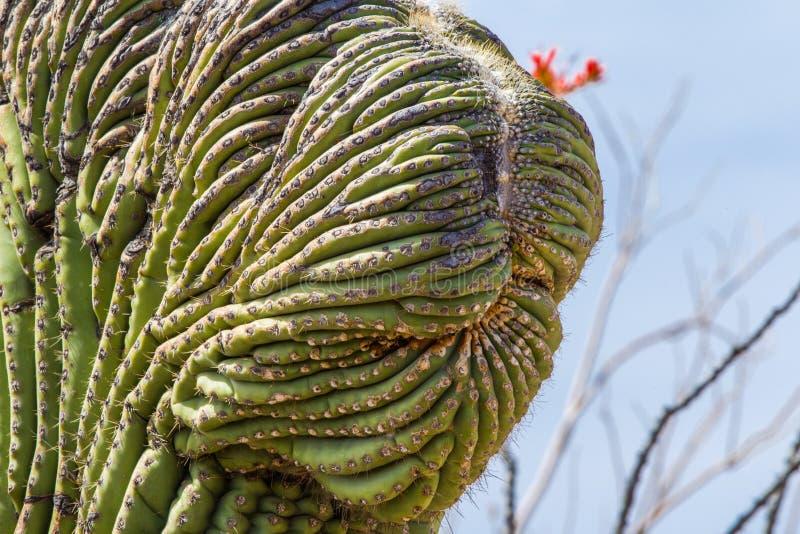 czubaty saguaro obrazy royalty free
