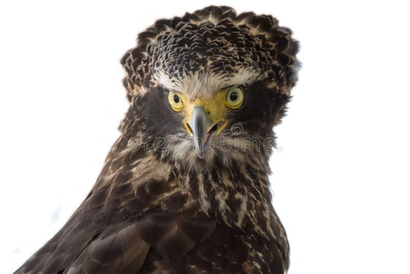 Czubaty węża Eagle Spilornis cheela, ptaki zdobycz zdjęcie stock