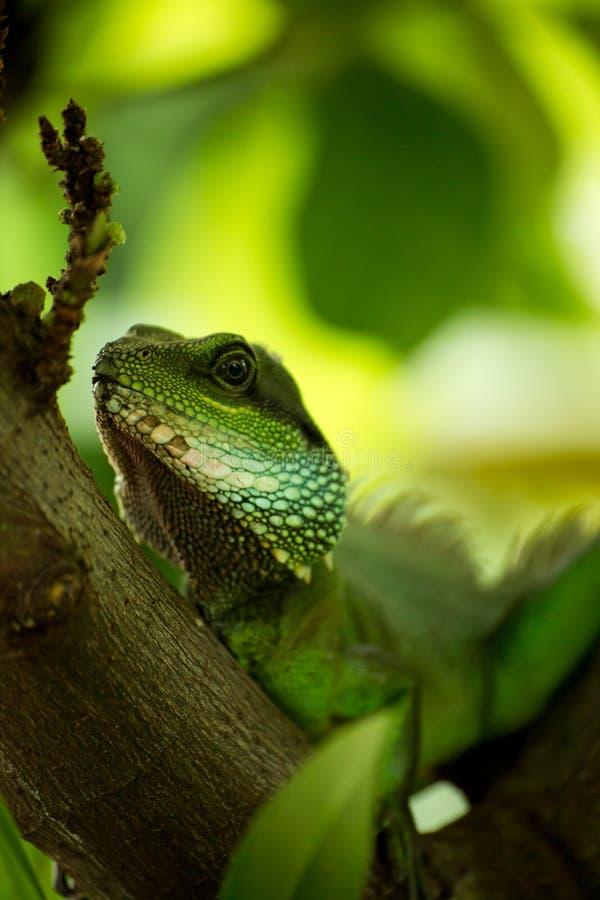 Download Czujna jaszczurka zdjęcie stock. Obraz złożonej z zwierzę - 53786662
