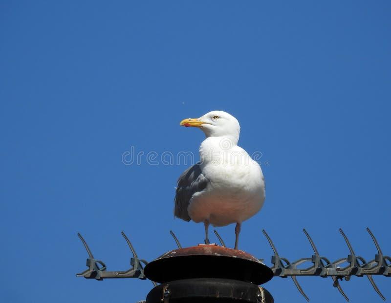 Czujny ra?ny seagull ptak na kominowego dachu miastowych ptakach obrazy stock
