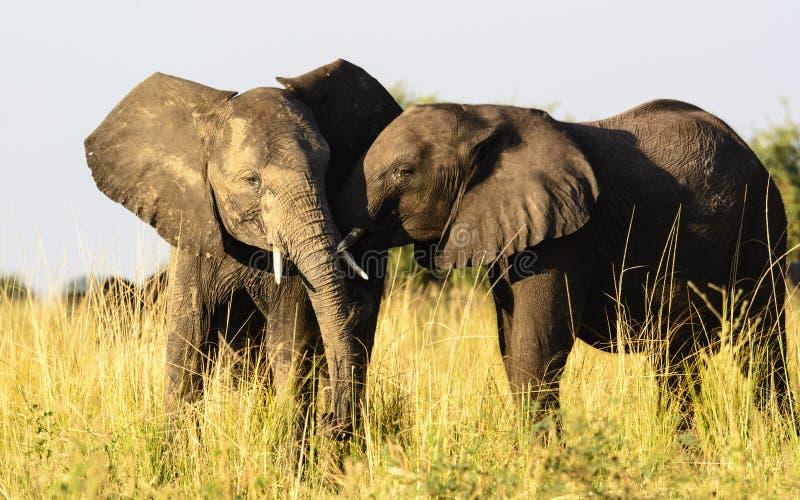 Czule Afrykańscy słonie obrazy stock