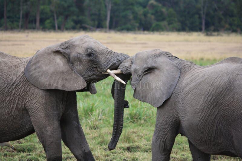 Czule słonia dotyka bagażniki fotografia stock