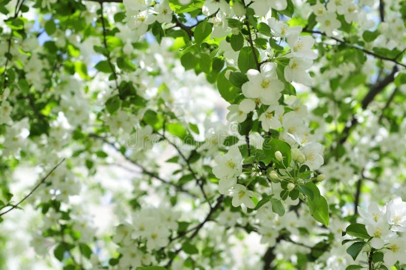 Czuli świezi biali wiosna kwiaty zdjęcie royalty free